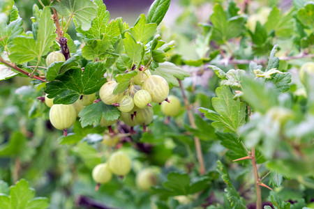 Gooseberries on a bush Standard-Bild - 104592526