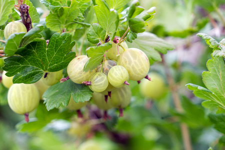 Gooseberries on a bush Standard-Bild - 104592531