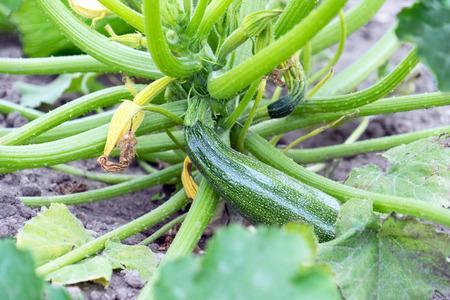 Cucumber plant in a garden Standard-Bild - 105128173
