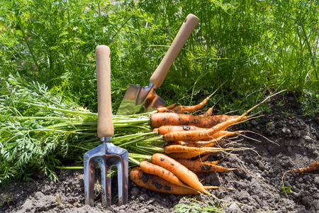 freshly picked carrots in a garden Standard-Bild - 116212653