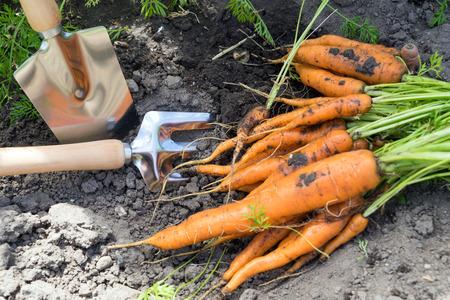 freshly picked carrots in a garden