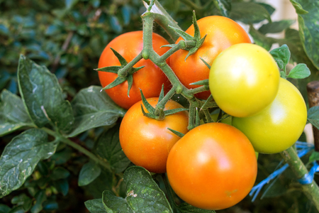 Tomato plant with many fruits Standard-Bild - 116212957
