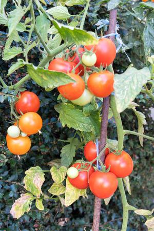 Tomato plant with many fruits Standard-Bild