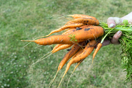 Hand holds freshly picked carrots Standard-Bild