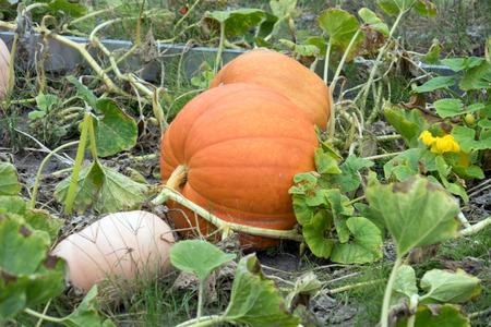 big pumpkin in a garden Standard-Bild - 116213036