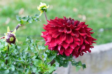 red flower in a garden Standard-Bild