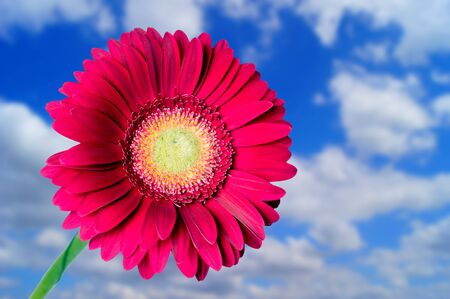 Gerbera in front of blue sky with clouds