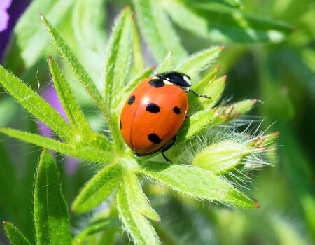 Close up of a ladybug Standard-Bild