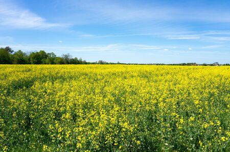 blooming rape field and blue sky Standard-Bild