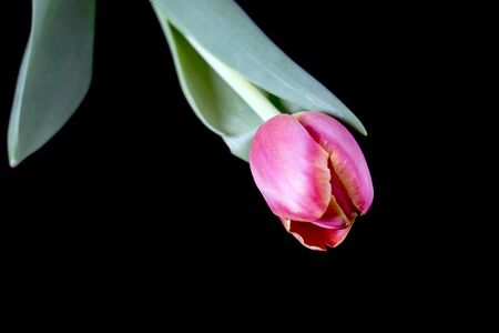 tulip over a black background