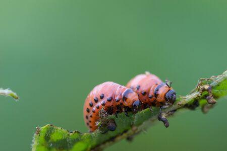 Close up of potato beetles