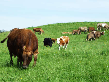 Cows at a farm in Herisau (Canton Appenzell Ausserrhoden, Switzerland)