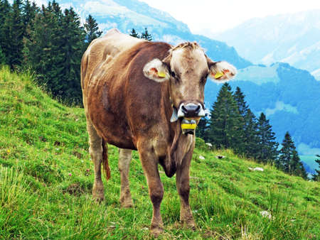 Cows at the outskirts of the Appenzellerland region - Canton of Appenzell Innerrhoden, Switzerland