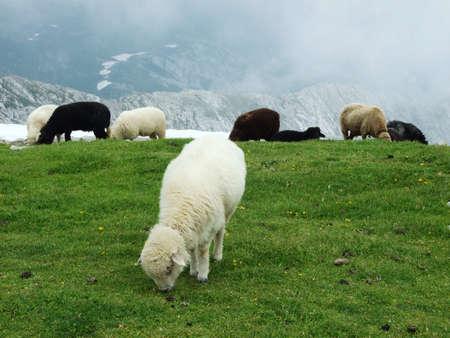 Sheeps and pastures on tableland mountain ranges Alpstein - Canton of Appenzell Innerrhoden, Switzerland Standard-Bild
