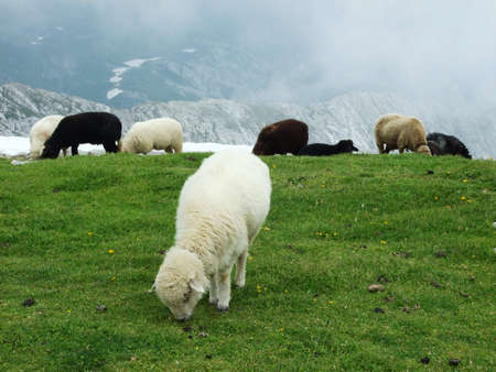 Sheeps and pastures on tableland mountain ranges Alpstein - Canton of Appenzell Innerrhoden, Switzerland Stock Photo