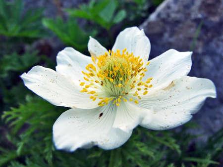 Alpine wild flowers on the Churfirstein mountain range in the Toggenburg region - Canton of St. Gallen, Switzerland 免版税图像