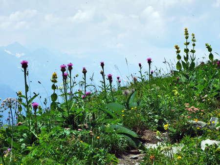 Alpine wild flowers on the Gonzen mountain above Sargans and the river Rhine valley - Canton of St. Gallen, Switzerland