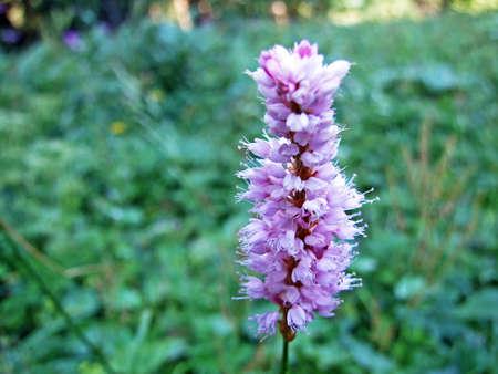 Alpine wild flowers on the Alpstein mountain range in the Appenzellerland region - Canton of Appenzell Innerrhoden, Switzerland