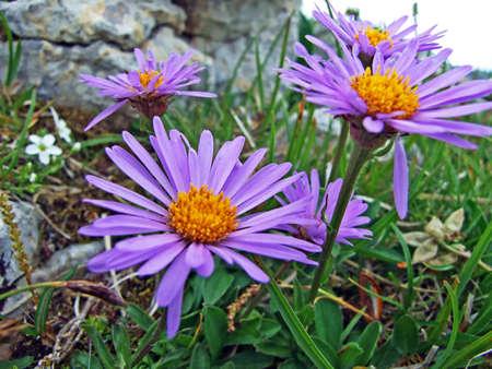 Alpine wild flowers on the Alpstein mountain range in the Appenzellerland region - Canton of St. Gallen, Switzerland