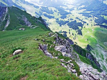 Sheeps on Alpine pastures of Alpstein mountain range seek refreshment from the summer sun - Canton of St. Gallen, Switzerland