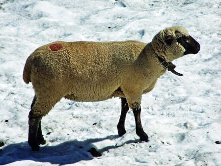 Sheeps on Alpine pastures of Alviergruppe mountain range seek refreshment from the summer sun - Canton of St. Gallen, Switzerland