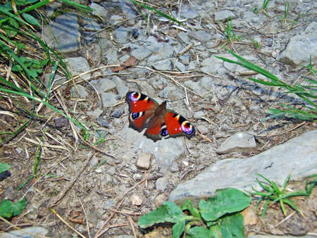 butterfly (Aglais io) or Das Tagpfauenauge Schmetterling