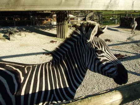 The plains zebra (Equus quagga or Equus burchellii), the common zebra, Burchell's zebra, or quagga or Das Grantzebra, Zoo in Gossau - Canton of St. Gallen, Switzerland