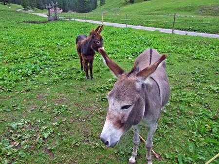 Donkeys on the pastures of the Saminatal valley and in the Liechtenstein Alps - Steg, Liechtenstein