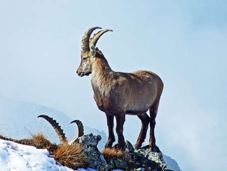 The chamois (Rupicapra rupicapra) or Die Alpengämse (Gams oder Gamswild) in the high pastures of the Swiss Alps, Mainfeld - Canton of Grisons (Graubünden or Graubuenden), Switzerland
