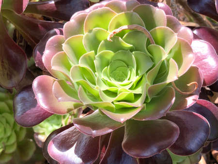 Aeonium arboreum, Tree aeonium, Tree houseleek or Irish rose - Botanical Garden Zurich or Botanischer Garten Zuerich, Switzerland 版權商用圖片