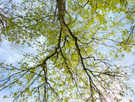 View of the sky and sun through the branches of a lone trees in early spring - Canton of Zürich (Zurich or Zuerich), Switzerland (Schweiz)