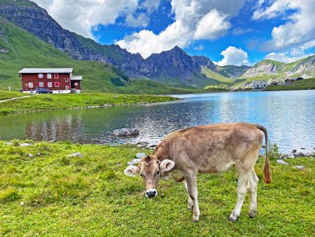 Cows on the on meadows and pastures on the slopes of the alpine valley Melchtal and in Uri Alps massif, Melchtal - Canton of Obwalden, Switzerland (Kanton Obwald, Schweiz)