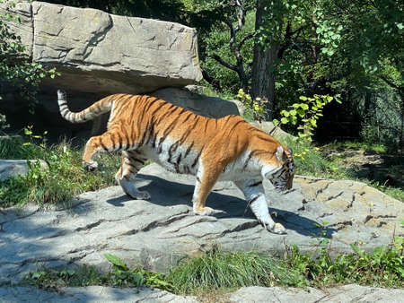 Siberian tiger 'Irina' (Panthera tigris altaica), Der Sibirische Tiger, Amurtiger, Ussuritiger, Tigre siberiana, dell'Amur, Tigre de Sibérie, Tigre de l'Amour, Tigre de Amur, Tigre persa