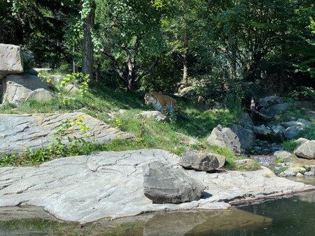 Siberian tiger 'Irina' (Panthera tigris altaica), Der Sibirische Tiger, Amurtiger, Ussuritiger, Tigre siberiana, dell'Amur, Tigre de Sibérie, Tigre de l'Amour, Tigre de Amur, Tigre persa Standard-Bild - 160512332