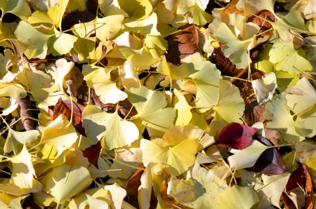 Fallen leaves of a ginkgo tree  Stock Photo