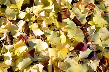 Fallen leaves of a ginkgo tree  Stock Photo