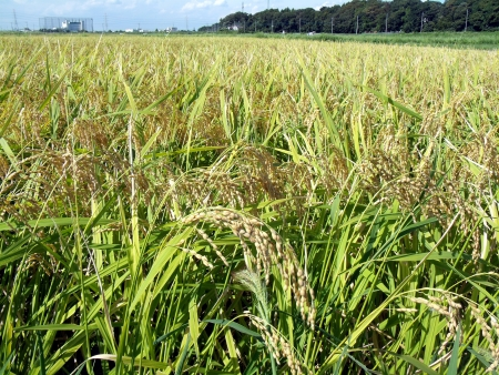 The paddy field of autumn of Japan  Stock Photo