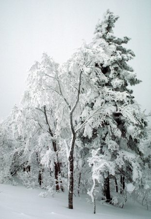 Snow grove