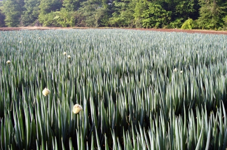Welsh onion field  Stock Photo