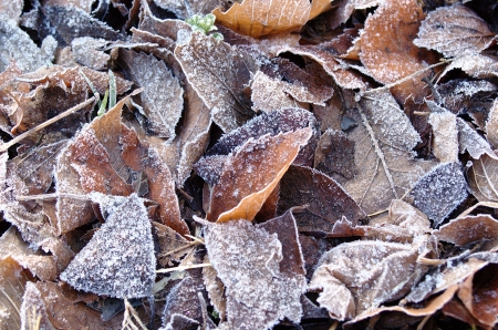 Fallen leaves with frost