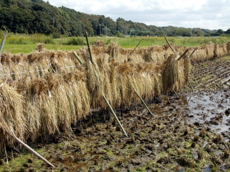 The paddy field of autumn of Japan after mowing a rice