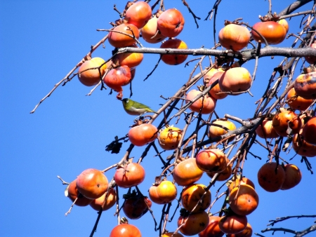 The little bird which eats the fruit of the ripe persimmon  Stock Photo
