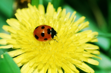 The flower and ladybug of a dandelion