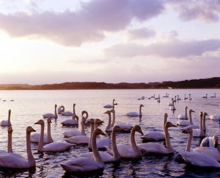 The swan of the Izunuma swamp Stock Photo