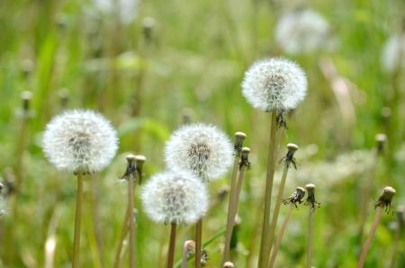 The dandelion fluff