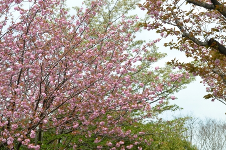 Double flowering cherry tree