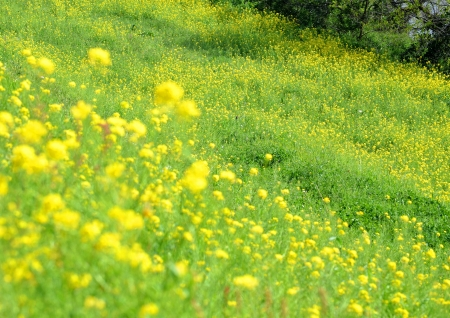 Rape blossoms which bloom on a bank