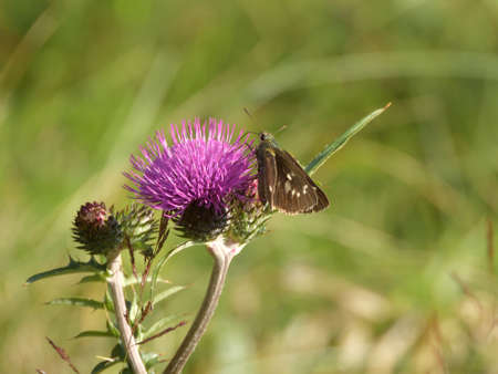 Thistle and seseri butterfly