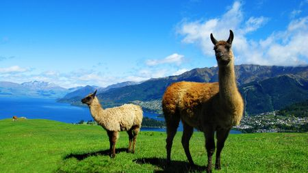2 con lama in Nuova Zelanda