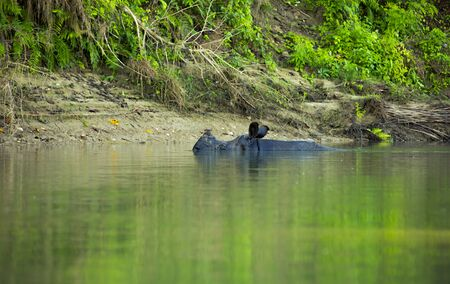 hippo  swimming on a river bank just with the head over water in an National Park in Nepal 版權商用圖片